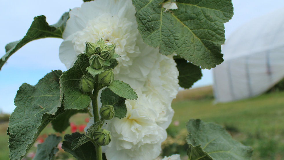Seed - Hollyhock, Chater's Double, Icicle