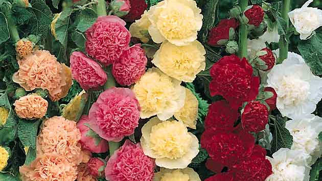 Seed - Hollyhock, Chater's Double, Mix