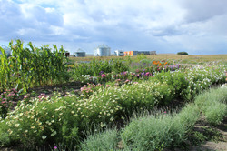 Early summer flower field, 2019.