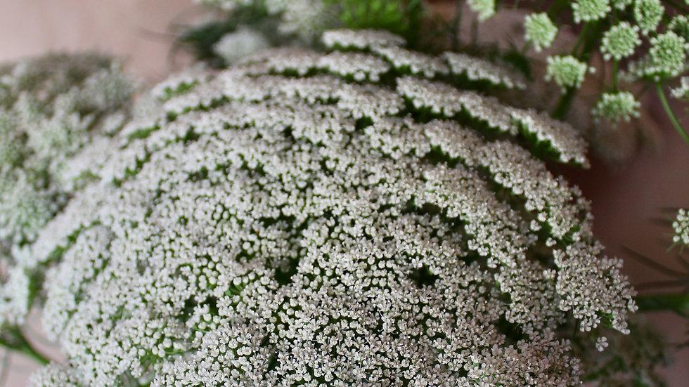 Laceflower, Green Mist ~ 10 stems