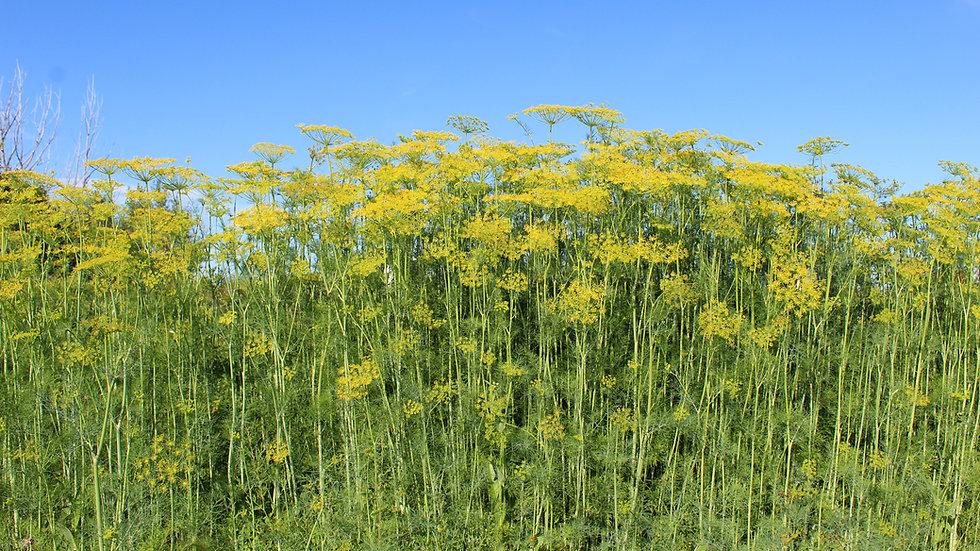 Seed - Dill, Garden