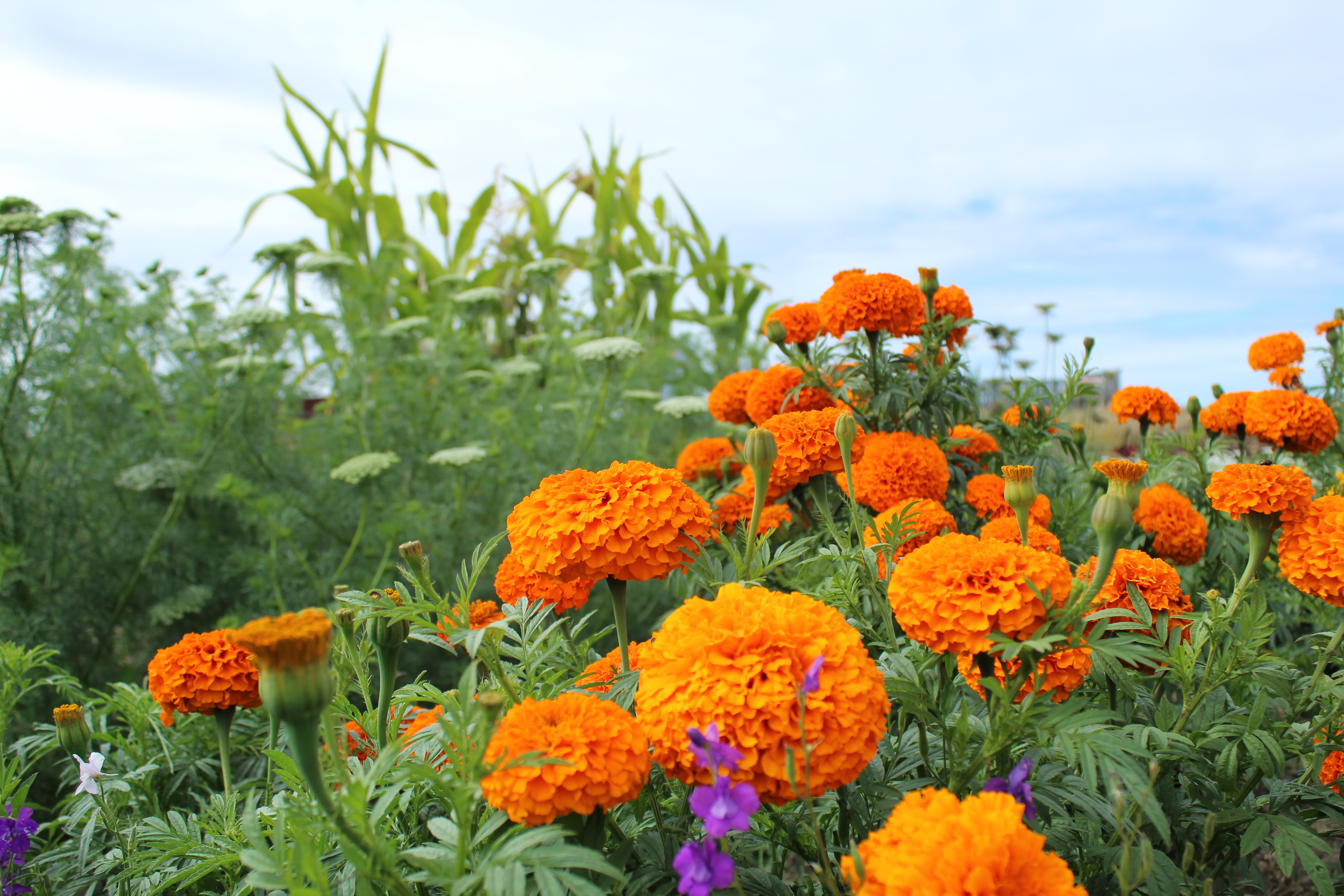 Marigolds in the field.