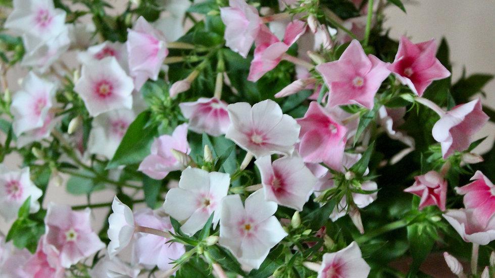 "Phlox ""Blushing Bride"" ~ 15 stems"