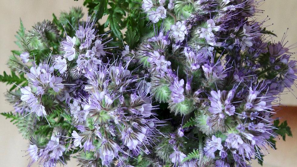 """Seed - Phacelia, aka """"Bee's Friend"""""""
