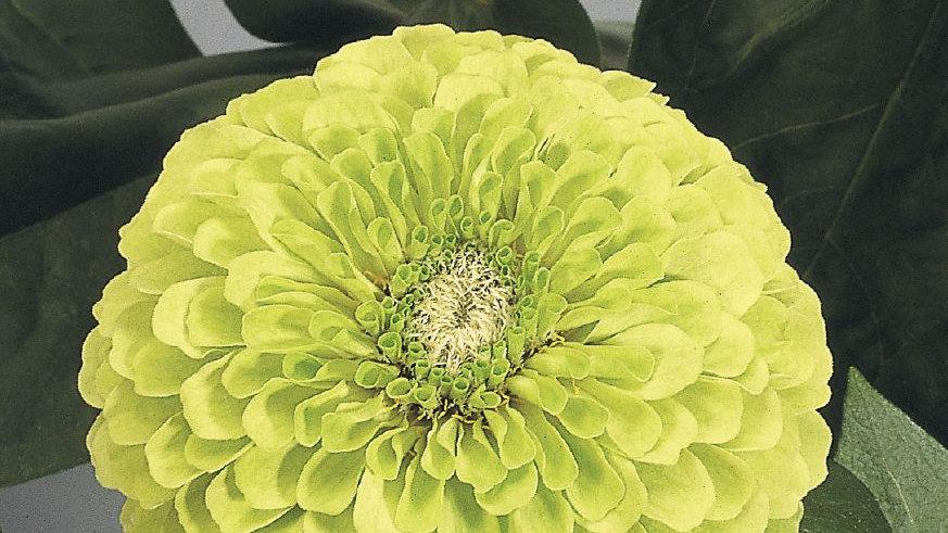 Seed - Zinnia, Benary's Giant, Dahlia Lime