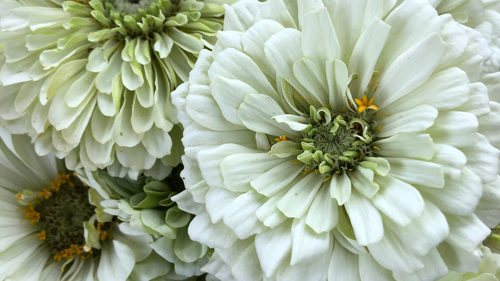 Seed - Zinnia, Benary's Giant, Dahlia White