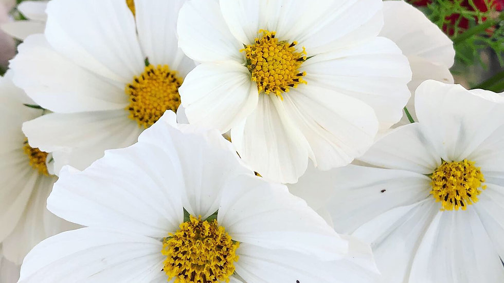 Seed - Cosmos, Apollo White