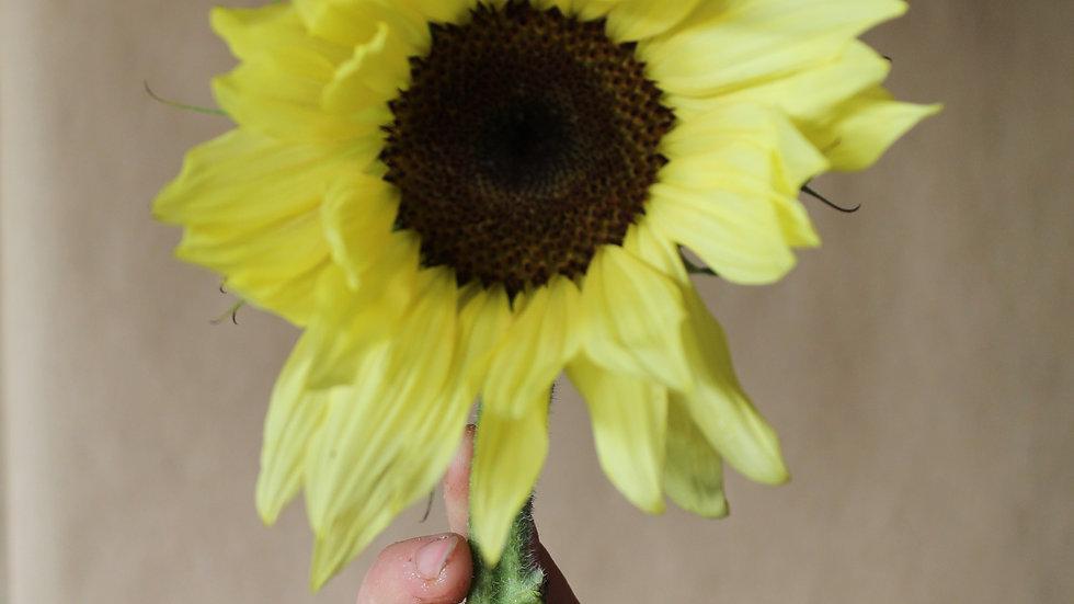Seed - Sunflower, Buttercream