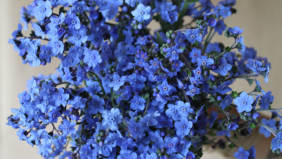 Seed - Chinese Forget-Me-Nots