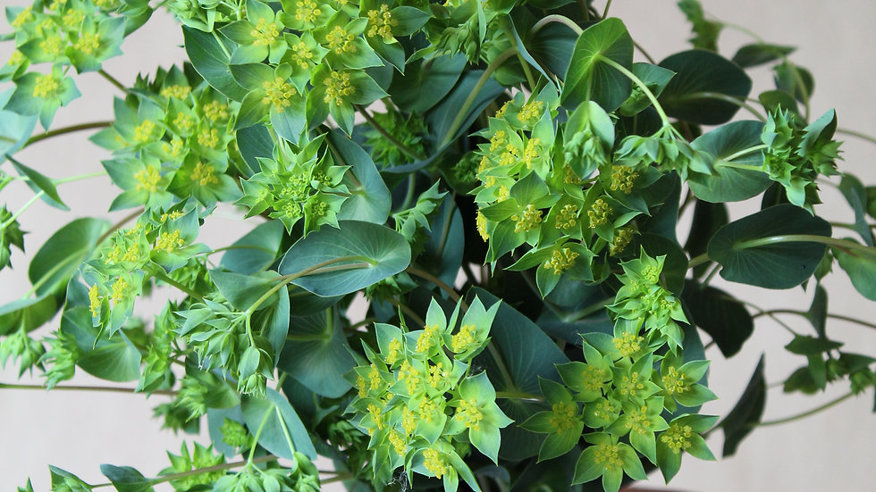 Seed - Bupleurum, Green Gold