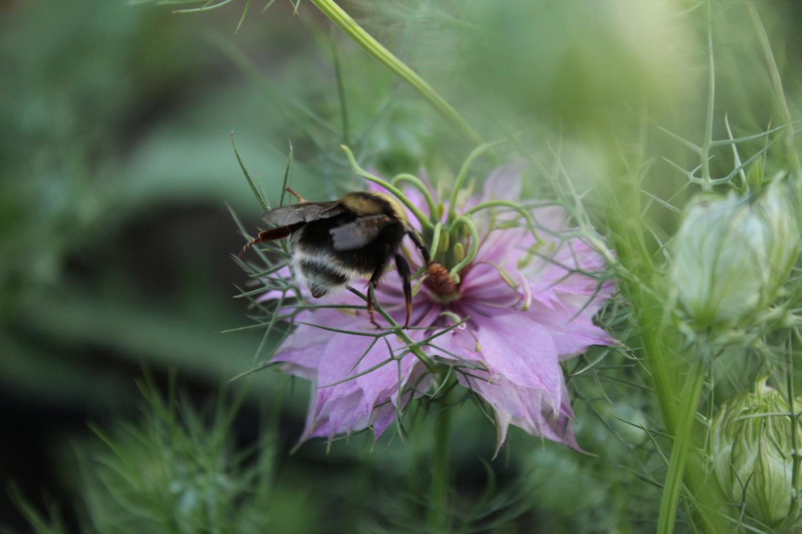 Bumble bee on our nigella