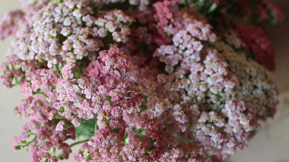 Yarrow, Pinky Mix ~ 15 stems