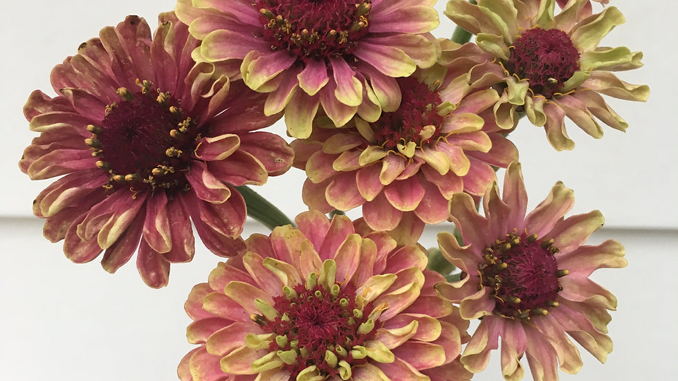 Seed - Zinnia, Queen Lime Red