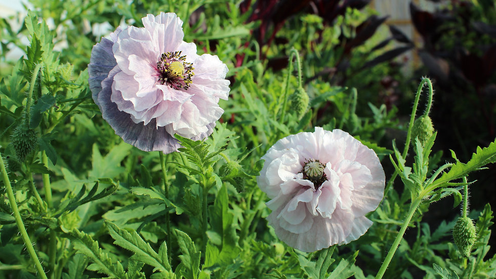 Seed - Poppy, Shirley, Amazing Grey