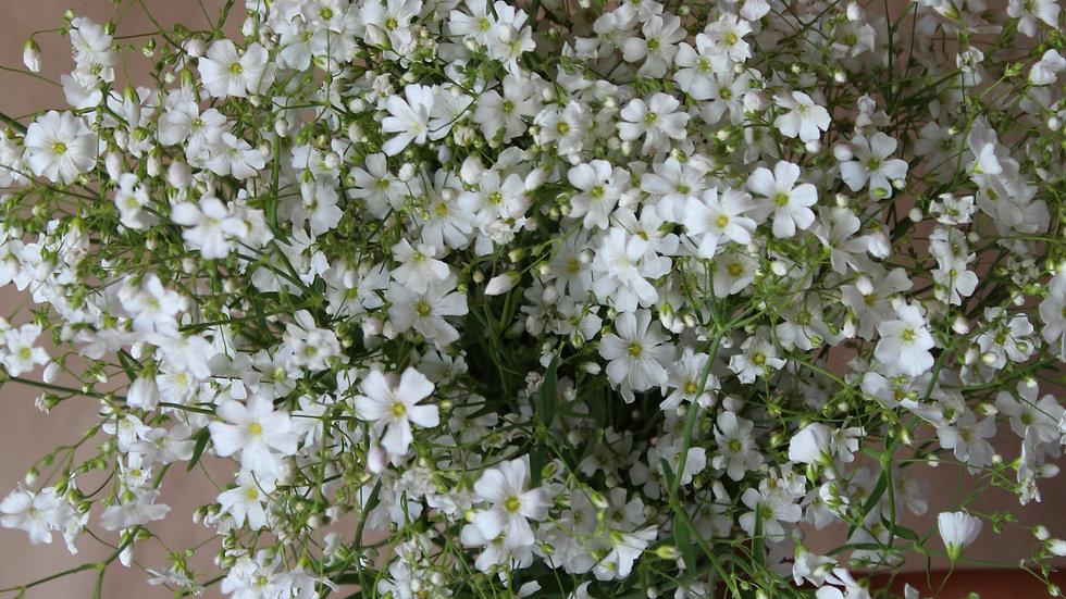 Baby's Breath, Covent Garden White ~ 15 stems