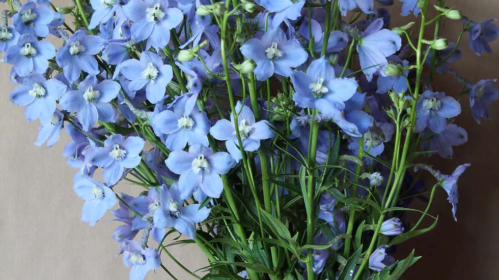 Seed - Delphinium, Belladonna, Cliveden Beauty