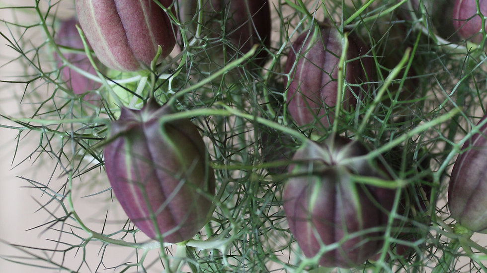 Nigella Pods ~ 15 stems
