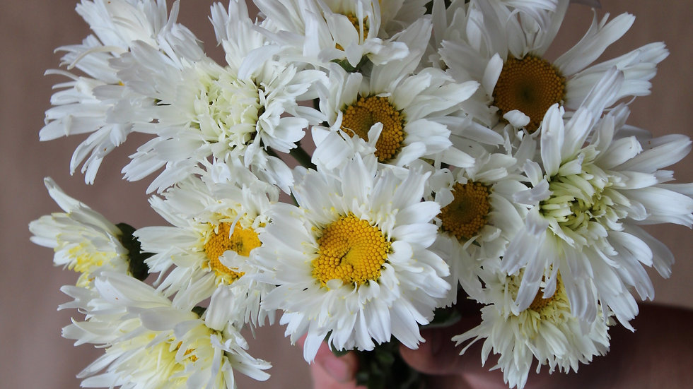 """Seed - Daisy, Shasta """"Crazy"""""""