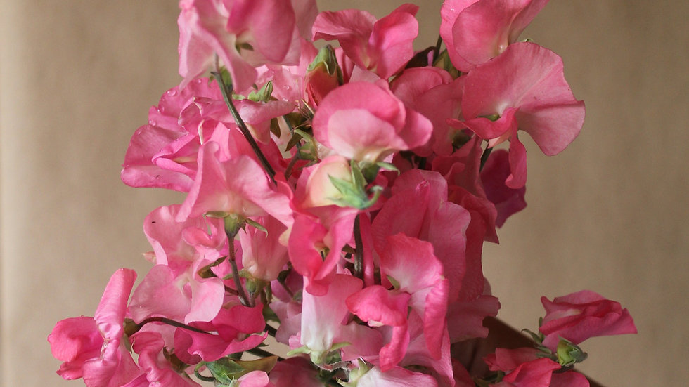 Seed - Sweet Pea, Royal Family, Salmon Pink