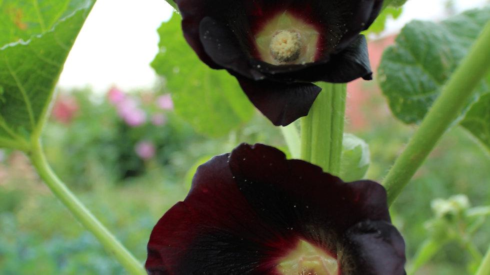 Seed - Hollyhock, Nigra