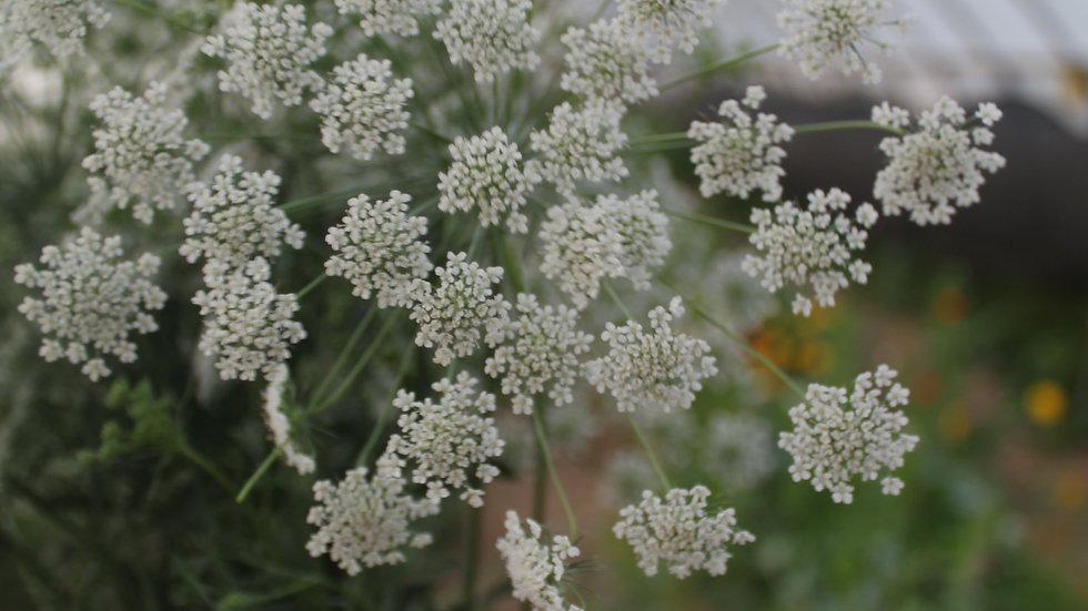 False Queen Anne's Lace ~ 15 stems