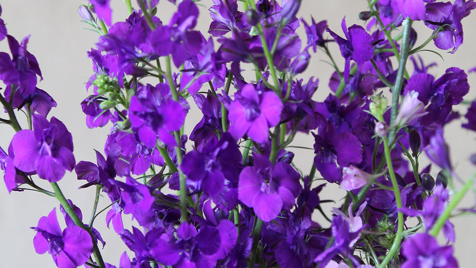 Seed - Larkspur, Imperial Purple Mix