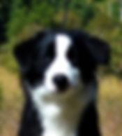 Blue Merle Mini Aussie, Miniature Australian Shepherd, Miniature American Shepherd, Breeder in Oregon, Breeder in Portland, Mini  Aussie Puppies,  Red Merle, Black Tri, Red Tri, Blue Eyed Tri Mini Aussies, BETmini aussies