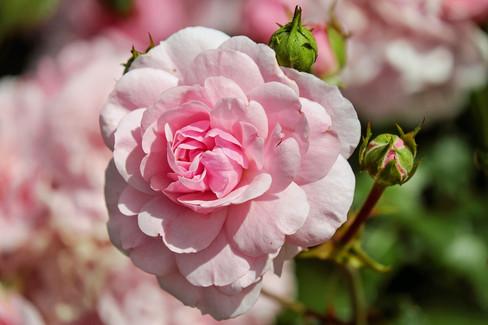 rose-1610932_1920.jpg