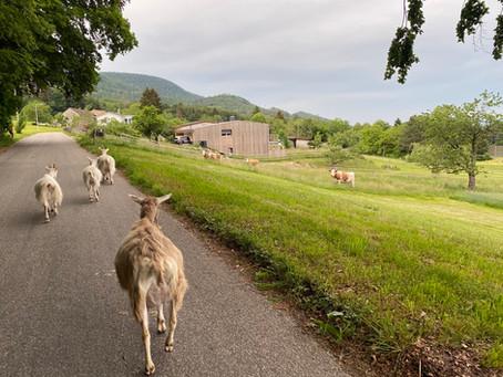 Ziegenspaziergang