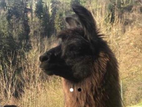 Ein Lama Mann kommt zu uns