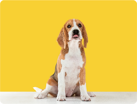 beagle-tricolor-puppy-is-posing_m.png