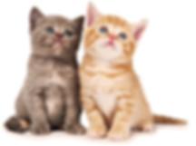 ücretsiz kedi sahiplendirme ilanları