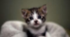 ücretsiz kedi sahiplendirme ilanında yer almasıönerilen ideal fotoğraf örnei