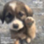 ücretsiz köpek sahiplendirme ilanı 1