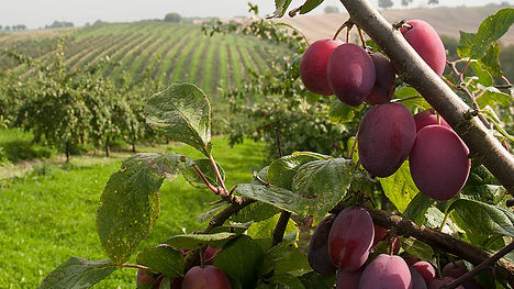 orchard plum view.jpg