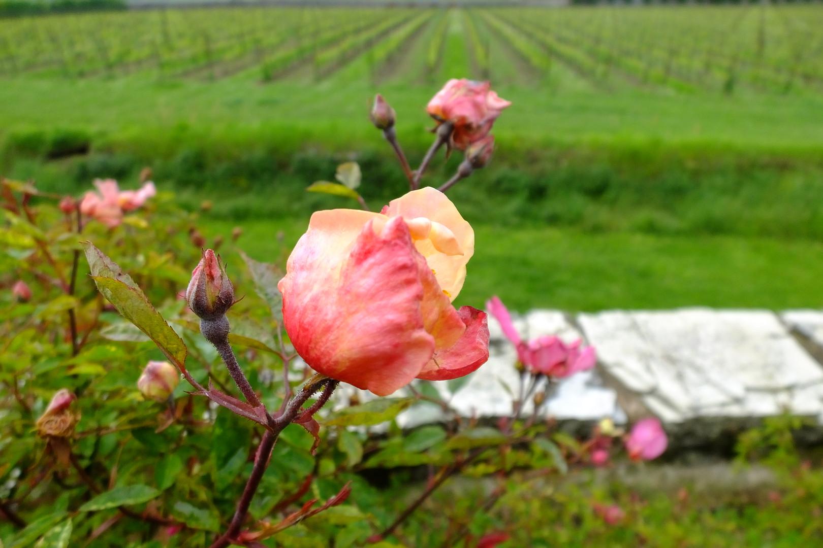 Rosa mutabilis con vigne