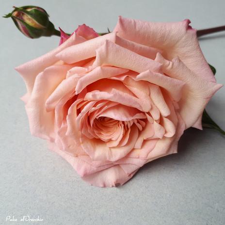 La mia nuova rosa