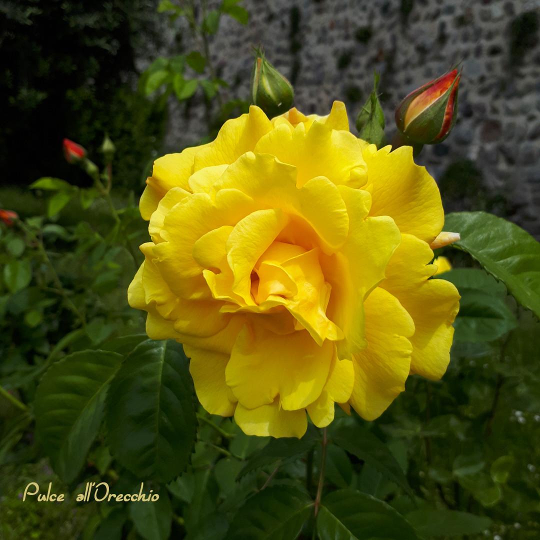 Rose giganti nel mio giardino