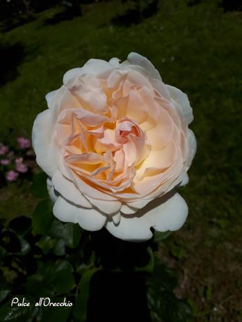 Nuove rose nel giardino