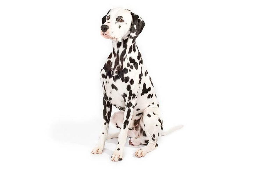 Dalmatian-On-White-03.jpg