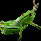 PNG-images-Grasshopper-20png.png