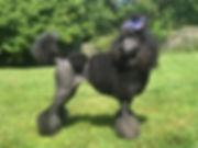 Brindle PointedPhantom Standard Poodle