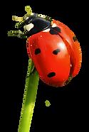 PNG-images-FreePNGsCOM-Ladybug-PNG-Trans
