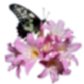 Butterfly-Belladonna-Lily-Flower-InsectB