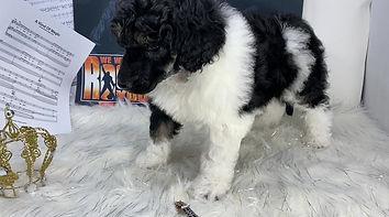 Phantom Parti Male Standard Poodle