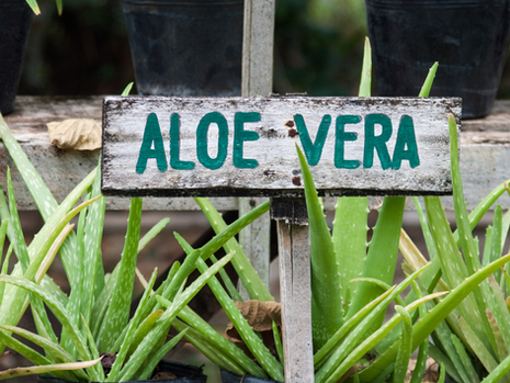 Aloe Vera the succulent that keeps on giving
