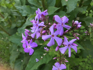 P. paniculata 'Great Smoky Mountains'