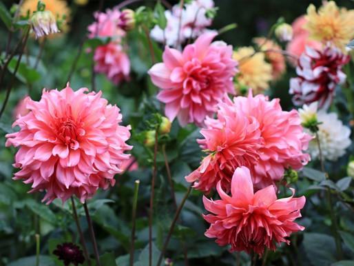 5 ting du skal overveje når du planter dahliaer