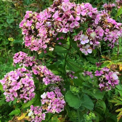 P. paniculata 'Sherbet Blend'