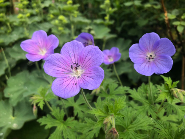Geranium maculatum 'Irish Blue'